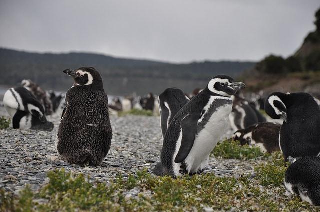 Pingüinera de la isla Martillo, Canal Beagle