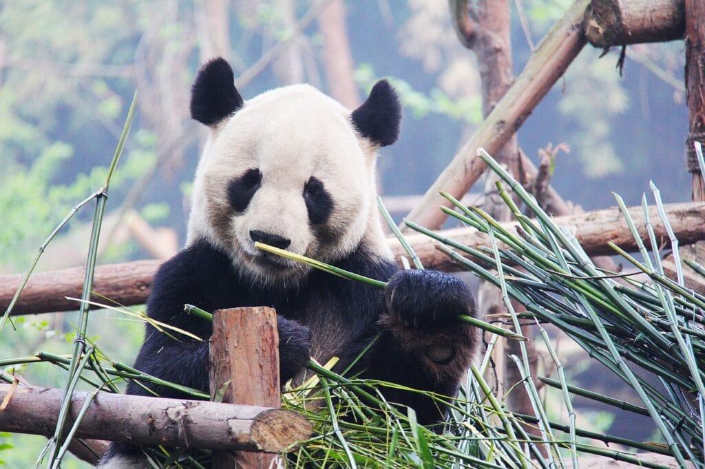 Panda Gigante, Chengdu