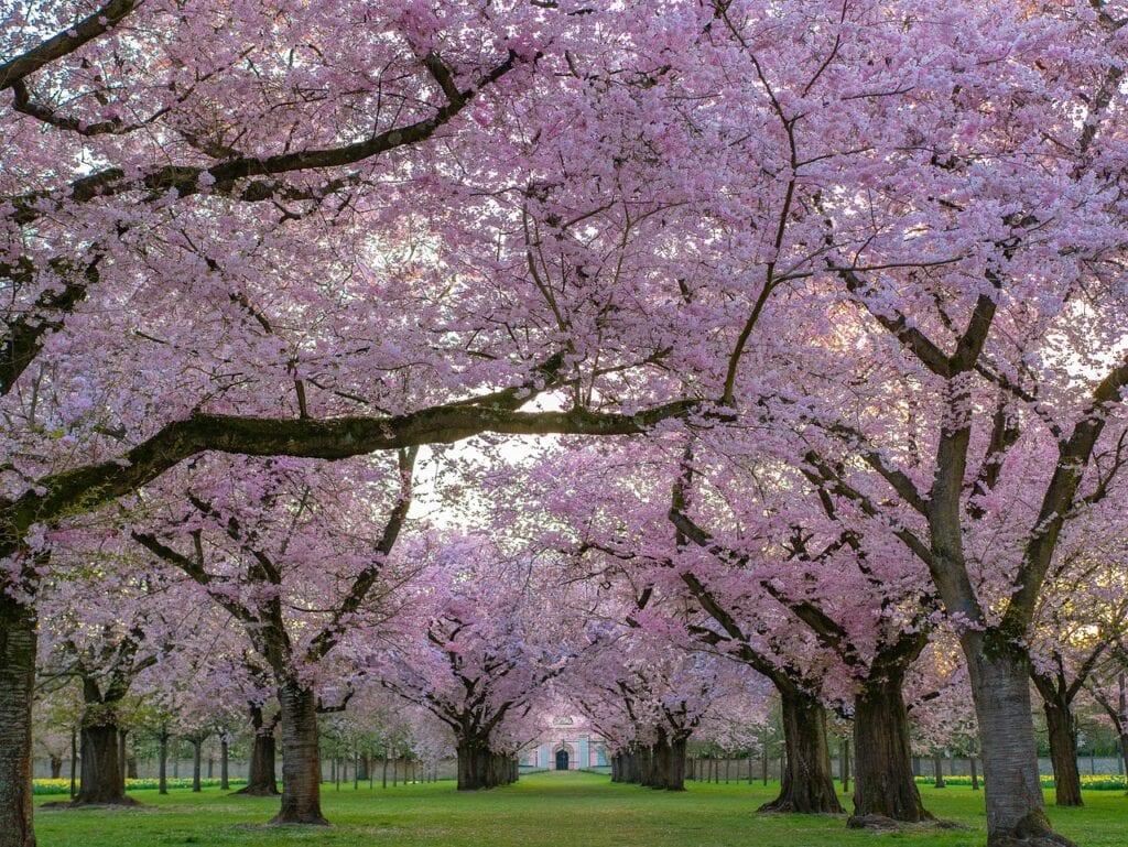 Cerezos en flor, Japón