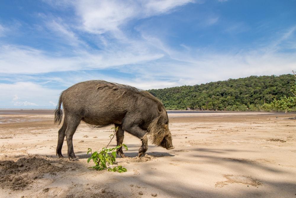 cerdo-barbudo-borneo