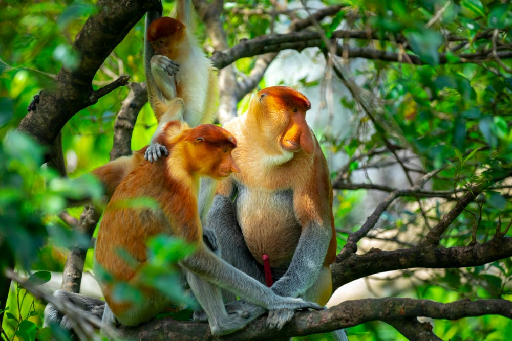 mono-del-parque-nacional-bako